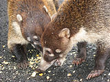 Coatis (Dec 30, 2005 12:17 PM)