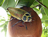 Río Dulce - Kayaking - Huge Bug on Fruit