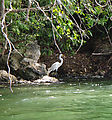 Río Dulce - Kayaking - Egret with a Fish