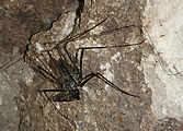 Tikal - Pyramid Ruin - Tunnel Inside - Tailless Whip Scorpion