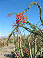 Calamajué Road Flowering Ocotillo