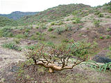Road to Agua Verde - Campsite - Elephant Tree