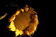 Rancho Madroño - Night - Sunflower (photo by Brian)