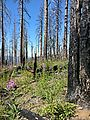 Deschutes National Forest - Oregon - Green Ridge - Flowers