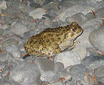 Redwood National Park Toad (October 07, 2004 7:26 PM)