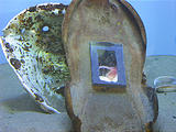 Newport Oregon Coast Aquarium Skate Egg Case with Window (October 19, 2004 1:37 PM)