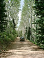 Manti-Lasal National Forest - aspen lined road (7/24 1:47 PM)