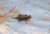 Mojave Desert - Camping south of Little Cowhole Mountain - Horned Lizard on my map (May 28, 2006 7:26 PM)