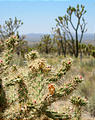 Mojave Desert - Cima Dome - Cactus (May 29, 2006 12:29 PM)