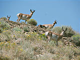 Nevada - Pole Canyon - Pronghorn Antelope