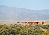 Nevada - Cowboy and cattle
