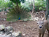 Puerto Morelos - Crococun Zoo - Peacock - Deer (Photo by Laura)